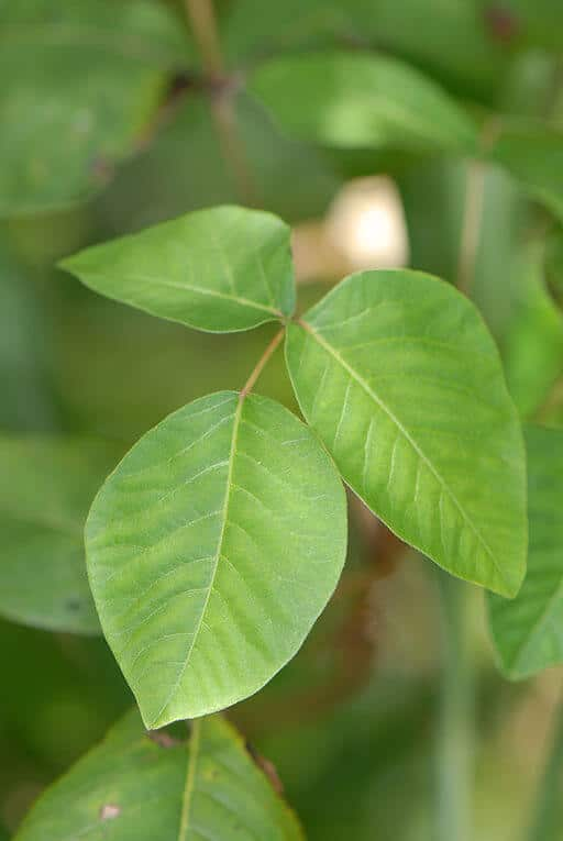 Poison Ivy (Toxidendron radicans)