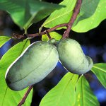 Pawpaw Fruits, A Tropical Fruit in Temperate Climates