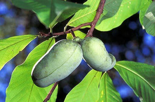 Pickled Pawpaws