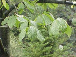 Pawpaw Tree Leaves