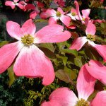 Dogwood Tree – Beautiful Flowers, Unique Fruits