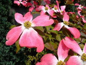 Pink Dogwood Flower