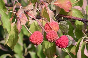 Kousa Dogwood Berries