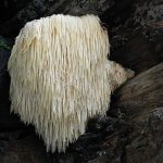 Lion's Mane – An Edible Mushroom That is Unmistakable