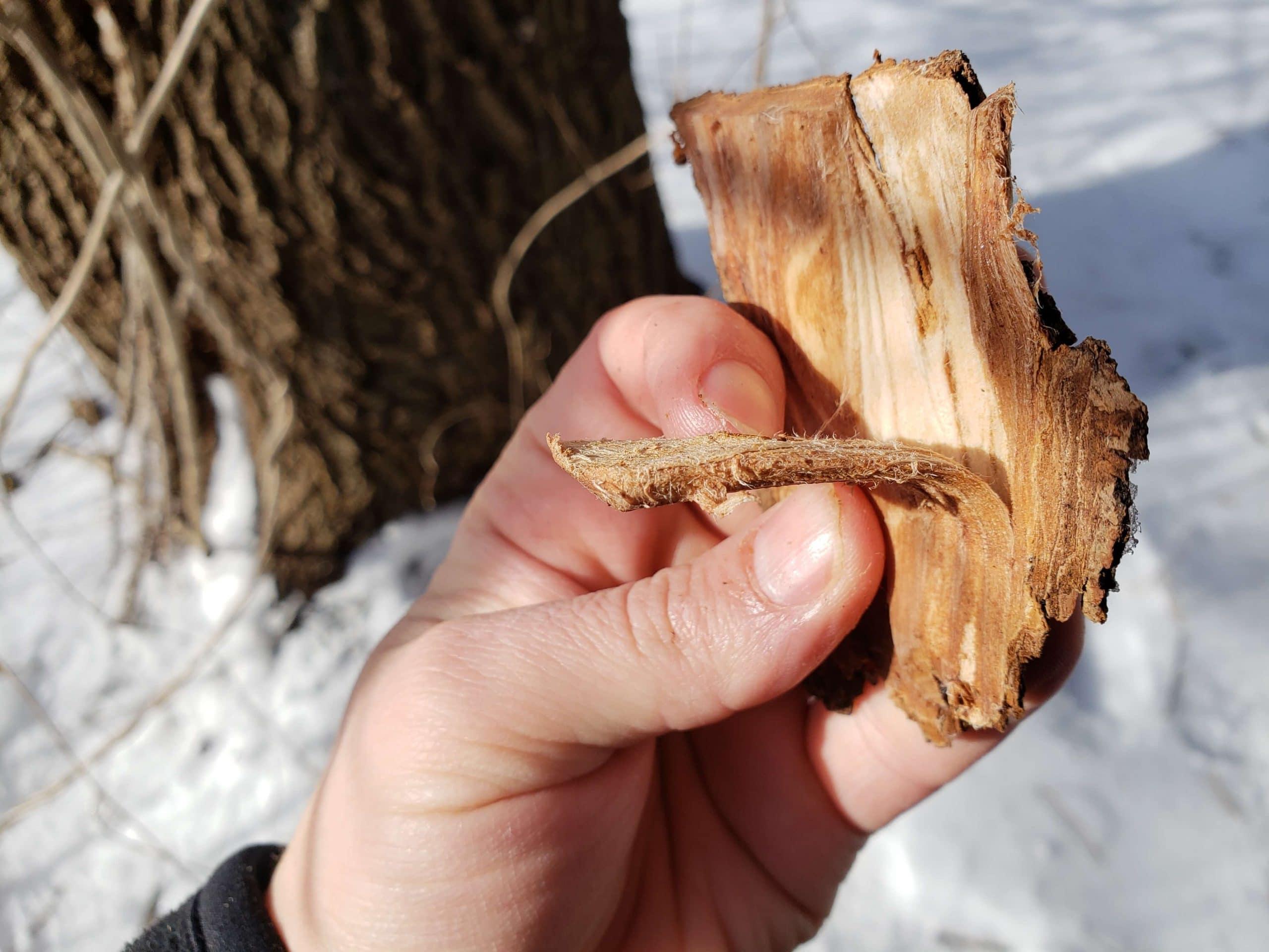 Siberian Elm (Ulmus pumila) inner bark