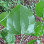 Smilax rotundifolia - Greenbrier Leaf