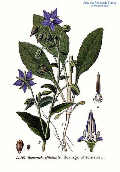 Borage/Starflower (Borago officinalis) Illustration