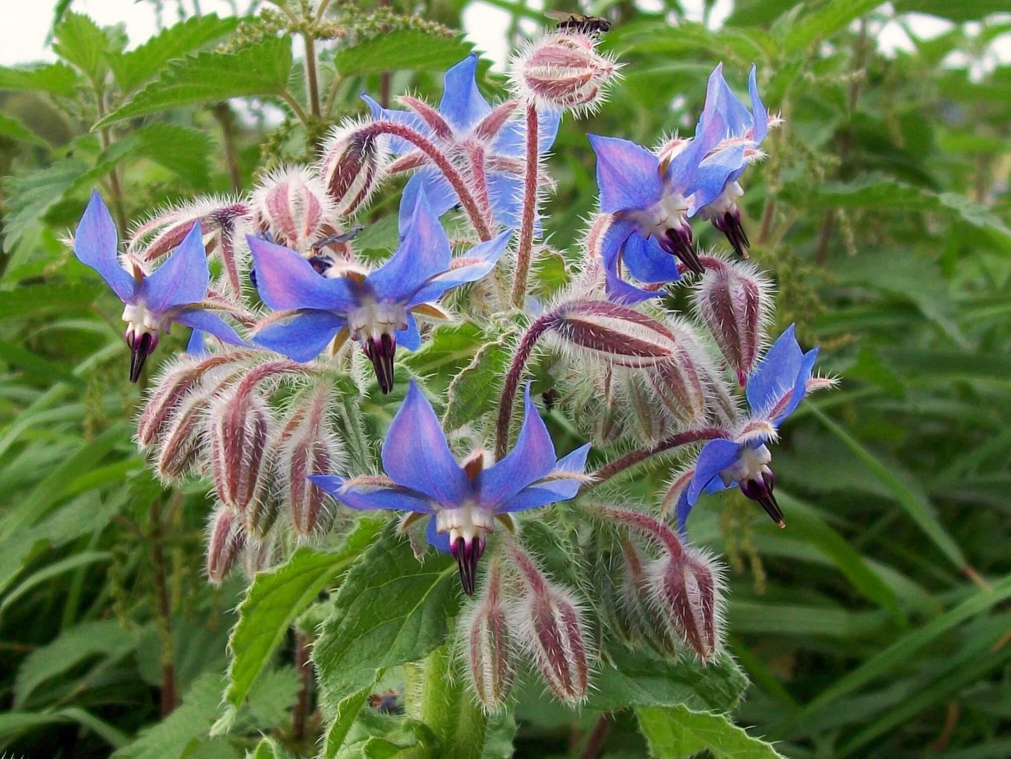 Borage/Starflower (Borago officinalis)