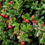 Bearberry (Arctostaphylos uva-ursi)