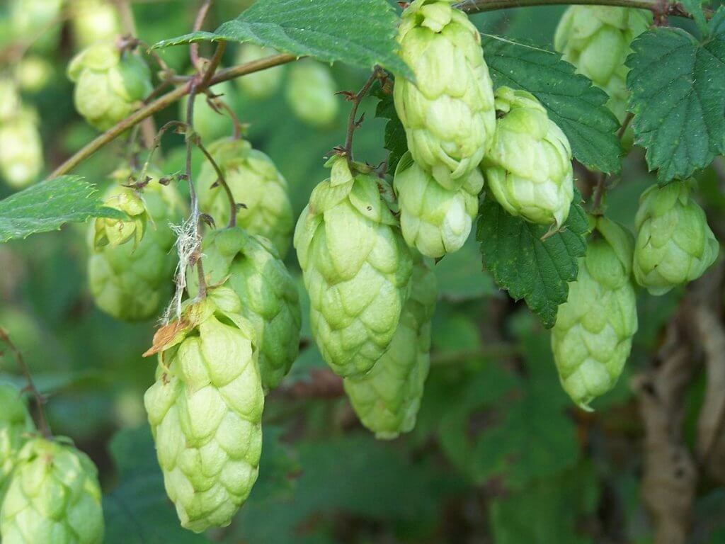 Hops (Humulus lupulus) Fruits