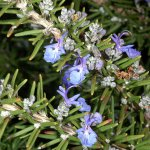 Rosemary (Rosmarinus officinalis) in Bloom