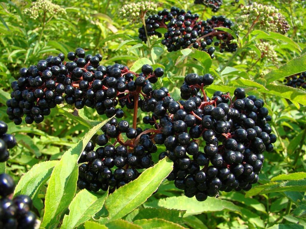 "Elderberry (Sambucus canadensis), also known as American black elderberry or common elderberry, is a shrub that can easily be found throughout North America. It's known for its delicious, dark purple berries and lacy white flowers. Elderberries and elderflowers are famous for their culinary and medicinal uses. Edibility and culinary use Almost all parts of this plant are poisonous, except for its flowers and ripe berries. Elderflowers are delicate and fragrant with a slightly tart flavor. These cream-colored flowers are typically used as an edible garnish or to flavor desserts and beverages. Elderflowers can also be made into jelly or deep-fried to make fritters. Dried elderflowers can also be brewed to make medicinal herbal tea. Much like elderflowers, elderberries taste tangy and tart, although stronger. These dark purple berries should never be eaten raw as it might cause stomach aches. Elderberries are usually made into jam, marmalade, pastry filling, juice, wine, tincture, and syrup. Elderberry tincture and syrup are often used for medicinal remedy. Health benefits Elderberry is packed with important nutrients. Both the berries and flowers are rich in vitamin A, B, and C. The tiny berries even contain more vitamin C than oranges. They're high in dietary fiber which can promote a healthy digestive system. Elderberries and elderflowers also contain a lot of antioxidants like anthocyanins, flavonols, and phenolic acids. This means they're great for reducing oxidative stress in the body, preventing cancer, and reducing inflammations. Elderflowers and elderberries are often used to treat and prevent cold. They're also great for alleviating cold symptoms, such as cough, nasal congestion, and fever. Elderberry is also said to be good for treating allergy and asthma symptoms. Its anti-inflammatory property also makes it great for alleviating pain, treating mouth and gum inflammation, reducing toothache, and treating digestive problems. Lastly, consuming elderberry can improve cardiovascular health as it helps lower blood pressure and reduce cholesterol levels. Cultivation Elderberry is not very hard to cultivate. With some work and patience, you'll be able to grow some elderberry shrubs in your own garden. While it loves moist, fertile, and well-drained soil, this plant can tolerate almost every type of soil. But, it can't tolerate drought at all. So, be sure to water the plant regularly. Plant elderberry in a location with full sun for a better harvest. Before planting, prepare the soil by incorporating manure or compost. Plant elderberry bushes in the spring, after the last frost date has passed. Plant each plant 6"" to 10"" apart, make sure the roots are well-covered. Water them once or twice a week to ensure they don't dry out. Get rid of surrounding weed regularly, especially when the shrubs are young. Let the shrubs grow wild for the first two years. Don't prune them or harvest the flowers and berries. This way, they'll grow nicely and produce a lot of berries. Then, starting from the third year, prune the shrubs each spring and remove all the dead areas. The berries will start to appear at the end of summer and they will ripen around mid-August to mid-September. Make sure to pick them before the birds finish them off. Cautions Common elderberry leaves, stems, and roots are poisonous. Ripe elderberries are generally safe, but unripe elderberries contain toxins that can only be destroyed through cooking. Eating unripe or uncooked elderberries may result in nausea, vomiting, and diarrhea. Elderberry may cause the immune system to be more active, so people with autoimmune disorders should avoid consuming elderberry. Also, be careful not to confuse elderberry shrubs with the toxic water hemlock. These plants look somewhat similar, moreover, they typically grow in the same area. Elderberry has opposing leaves while water hemlock has alternating leaves.  Water hemlock doesn't grow berries, but they do grow flowers. Water hemlock flowers look similar to elderflowers, but they have a firecracker-like formation. Do not touch or ingest water hemlock flowers at all. Conclusion Elderberry can be a valuable source of food and herbal remedy if you know how to prepare it. This plant's tiny berries and dainty flowers definitely pack a punch when it comes to flavor. They're versatile and can be used in a lot of delicious recipes. And their health benefits are undoubtedly amazing as well. It's not a surprise to find that Native Americans have been using elderberries and elderflowers to make traditional herbal medicine."