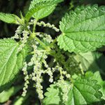 Stinging nettle (Urtica dioica) Close Up