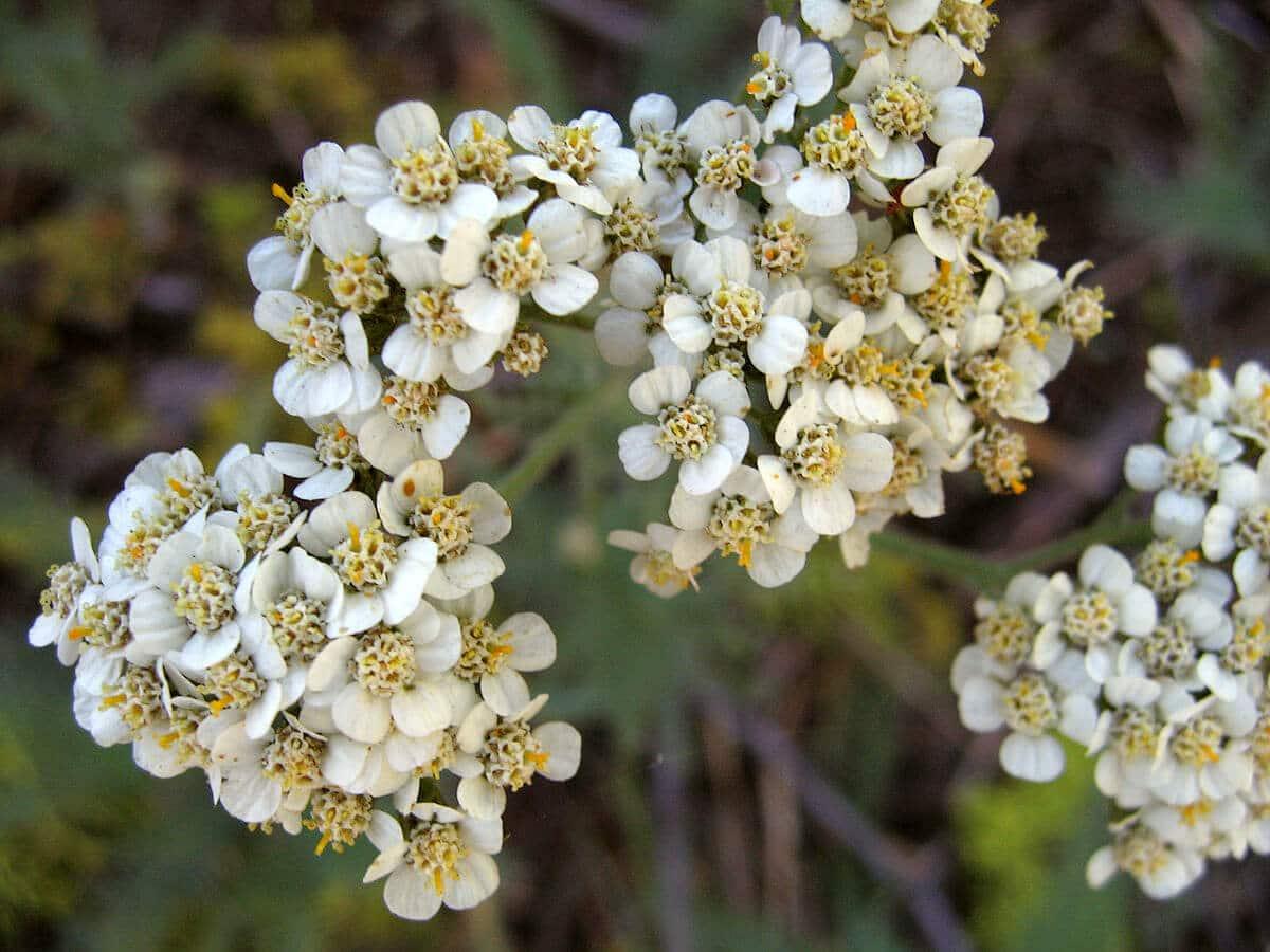 Yarrow (Achillea millefolium) White Variant