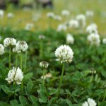 White clover (Trifolium repens) Meadow