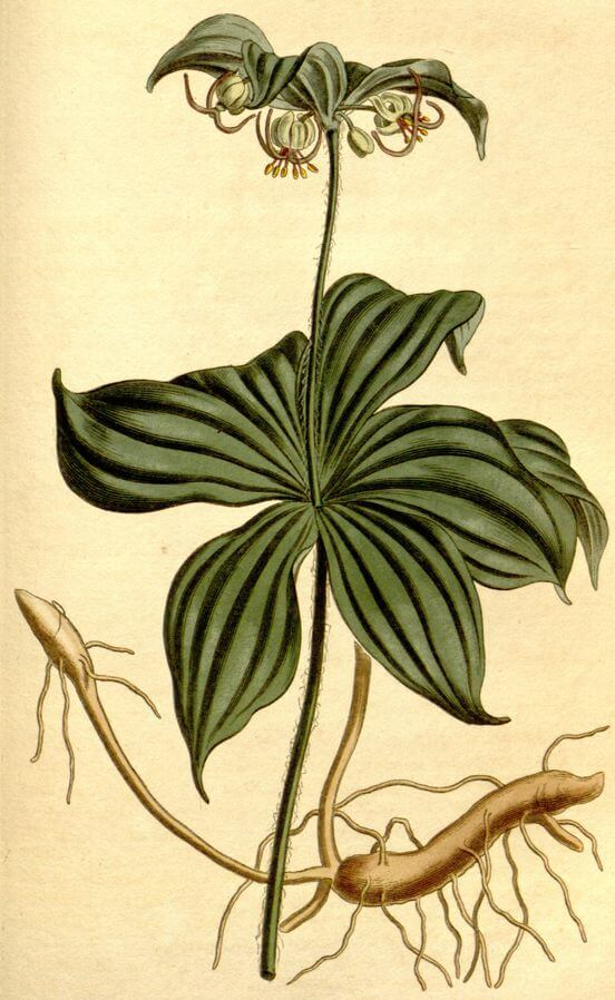 Indian Cucumber (Medeola virginiana) Illustration