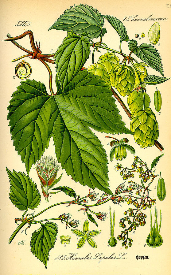 Hops (Humulus lupulus) Illustration