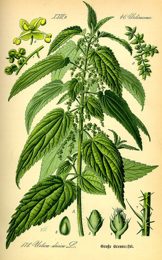 Stinging nettle (Urtica dioica) Illustration