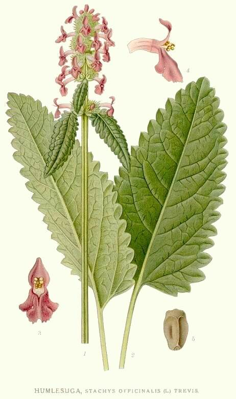 Wood Betony (Stachys officinalis) Illustration
