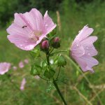 Musk Mallow (Malva Moschata) Flowers