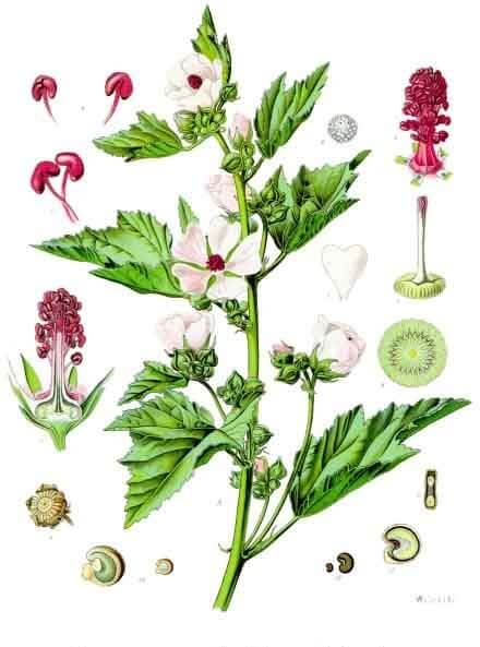 Marsh Mallow (Althaea officinalis) Illustration