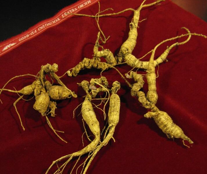 American ginseng (Panax quinquefolius) Harvested Roots