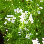 Chervil (Anthriscus cerefolium) Flowers