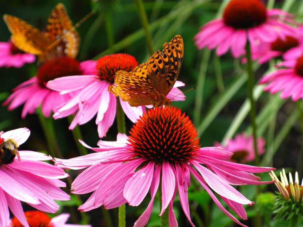 Echinacea (Echinacea purpurea) Flowers and Butterflies