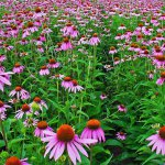 Echinacea (Echinacea purpurea) Flowering Meadow