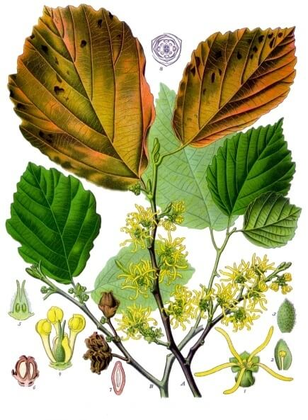 American witch hazel (Hamamelis virginiana) Illustration