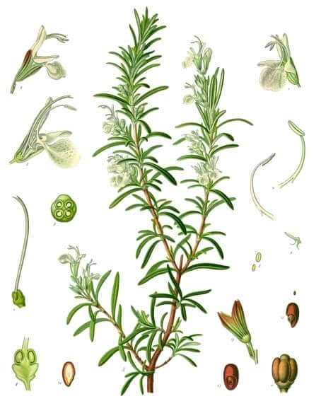 Rosemary (Rosmarinus officinalis) Illustration