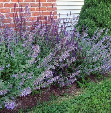 Catmint (Nepeta grandiflora) Plant and Flowers