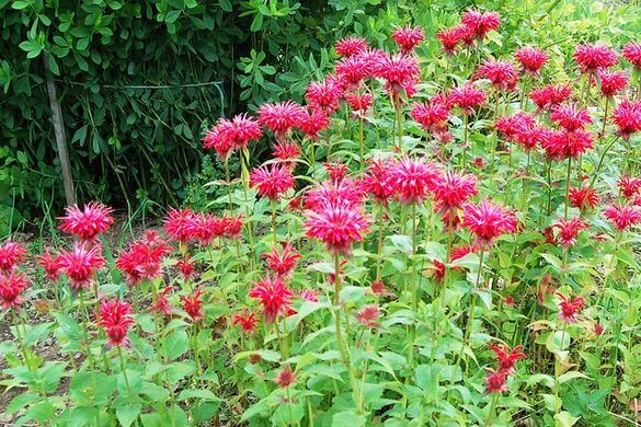 Bee Balm (Monarda Didyma) Plant with Red Flowers