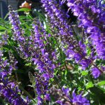 Catmint (Nepeta grandiflora) Flowers