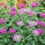 Bee Balm (Monarda didyma) Plant with Pink Blooms