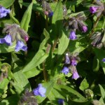 Comfrey (Symphytum officinale) Flowers