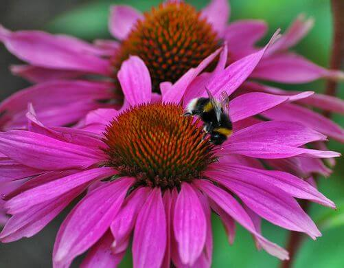 Echinacea (Echinacea purpurea) Flower and Bee Close Up