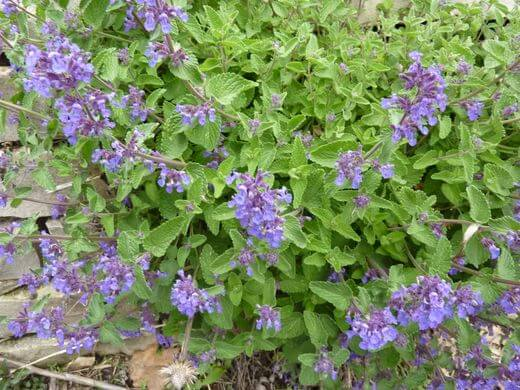 Catmint (Nepeta grandiflora) Plant and Blossoms