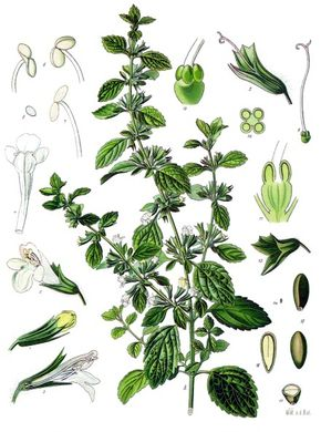 Lemon balm (Melissa officinalis) Illustration