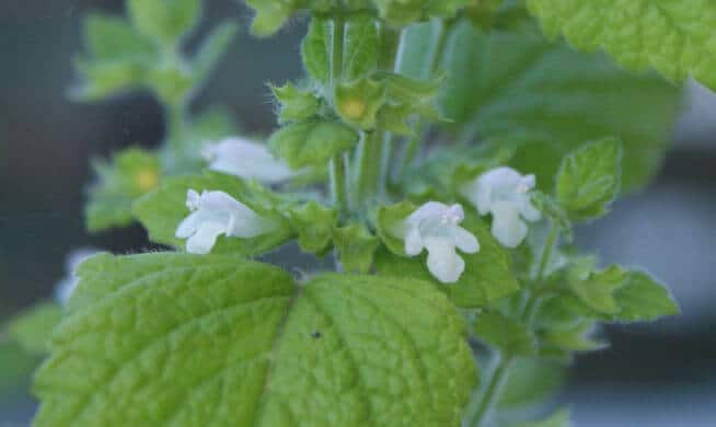 Lemon balm (Melissa officinalis) Flowers