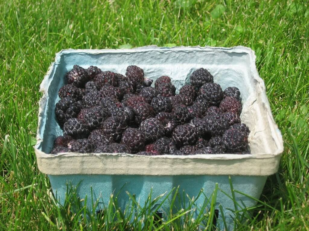 Black Raspberry (Rubus occidentalis), Harvested