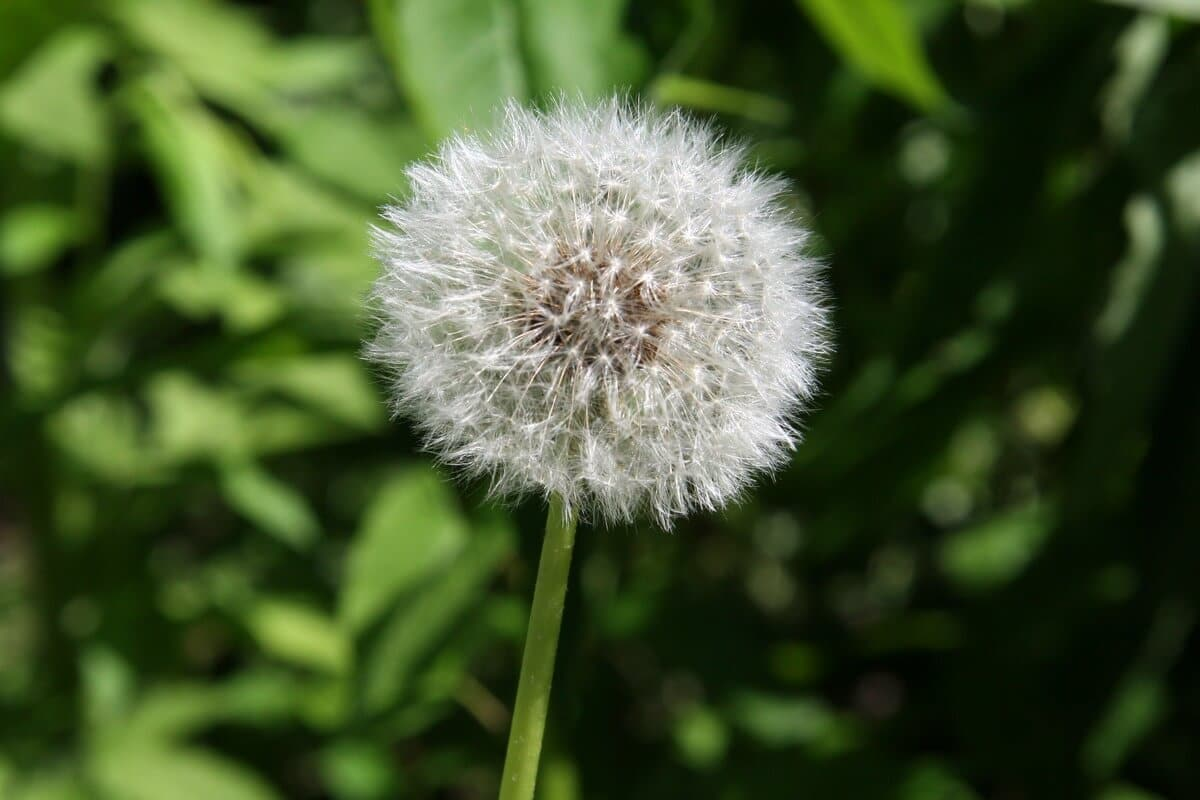 Dandelion (Taraxacum officinale) Seeds