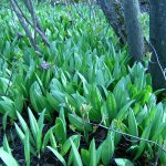 Ramps (Allium tricoccum) Field