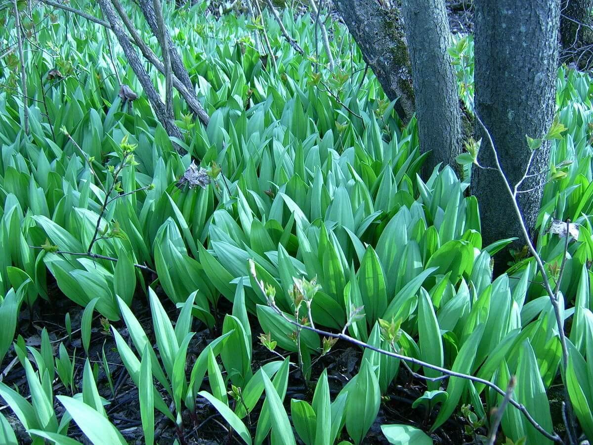 Ramps (Allium tricoccum) Field