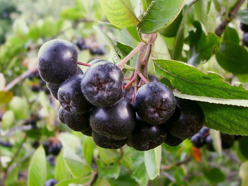 Black Chokeberry (Aronia melanocarpa) Fruits