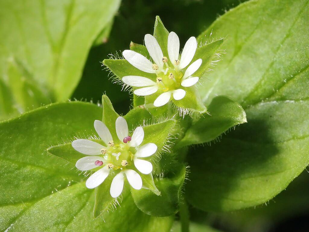 Chickweed (Stellaria Media) Flowers