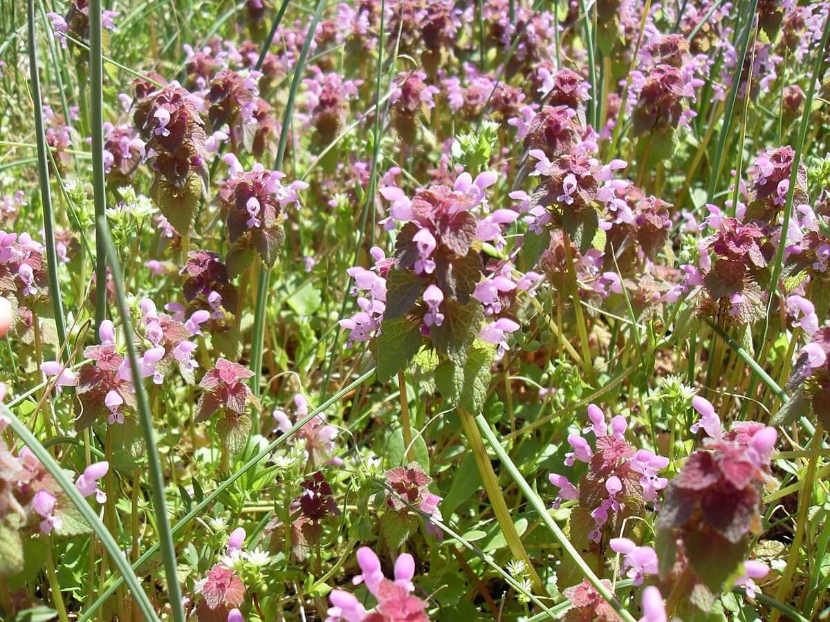 Field of henbit (Lamium amplexicaule)