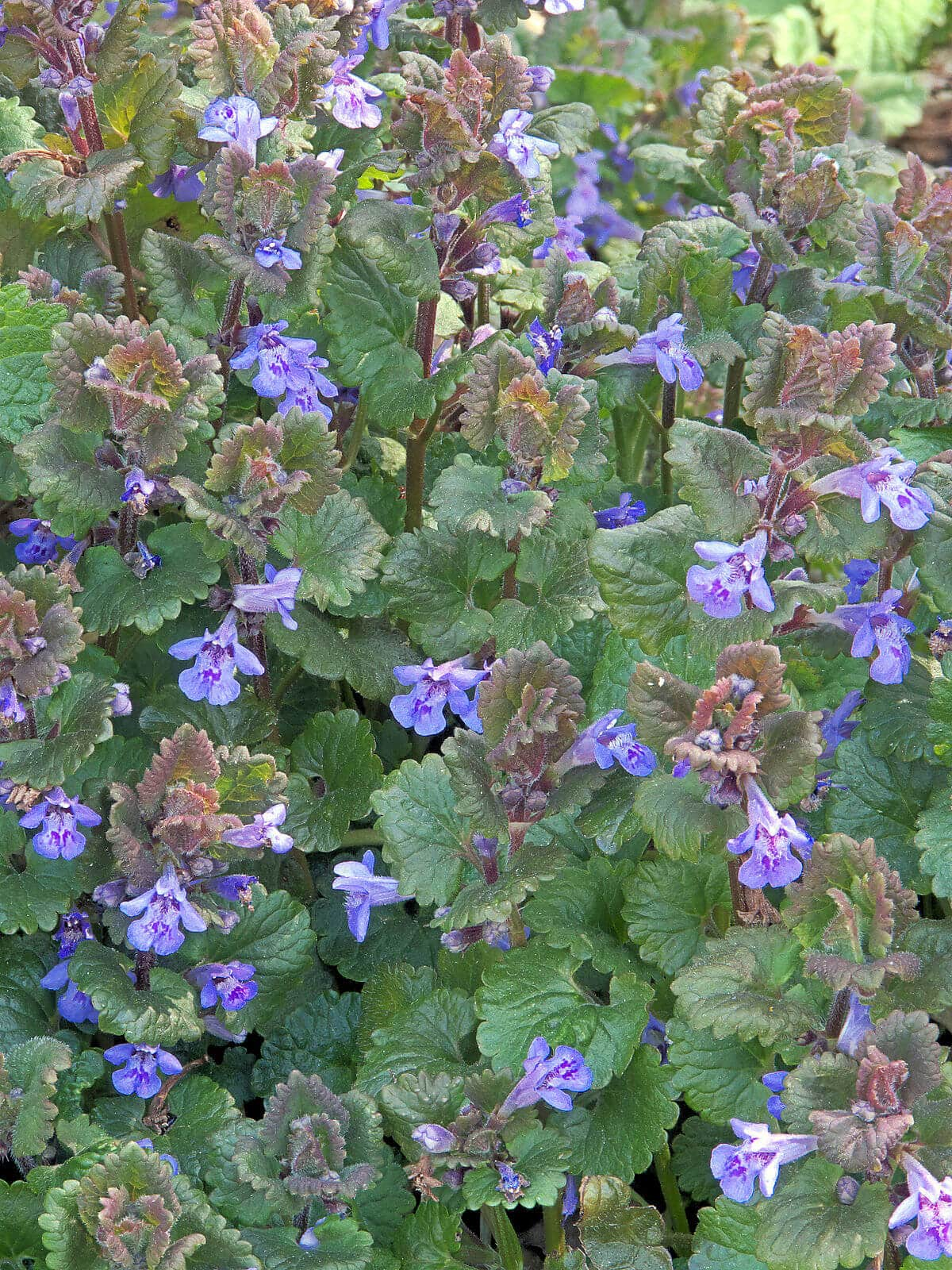 Field of Ground Ivy (Glechoma Hederacea)