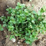 Chickweed (Stellaria Media) Whole Plant
