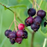 Saskatoon Serviceberry (Amelanchier alnifolia)